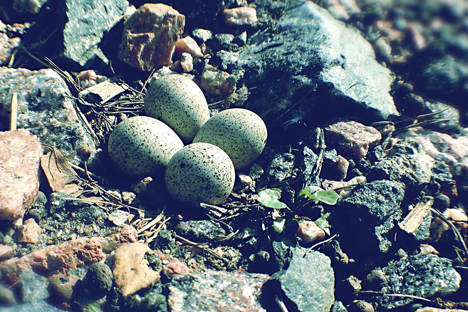 Tyllin munat
